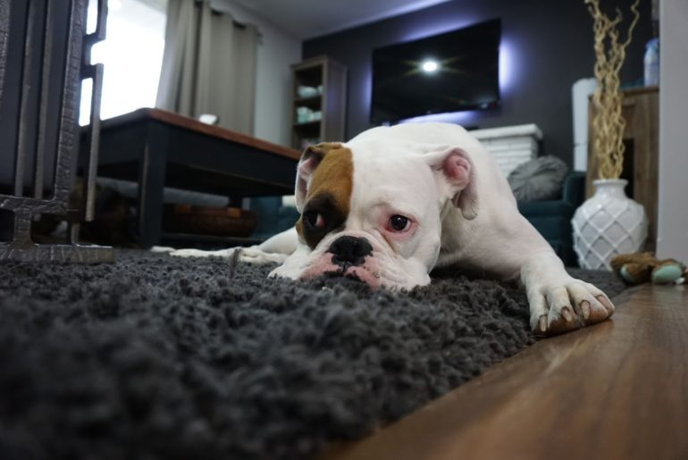 The Benefits of Carpet Removal for Your Pets